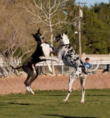 """Caught these two Great Danes """"boxing"""" in mid air!"""