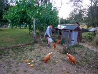 Feeding, cleaning out chook house and collecting eggs in the morning