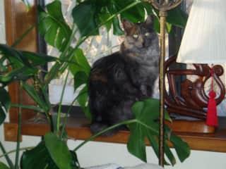 Simon, my 15 yr. old Nebelung cat