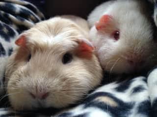 Snuggling guinea pigs