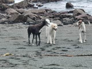 Blue, Olé & Loki in a rare less active pose on the beach.