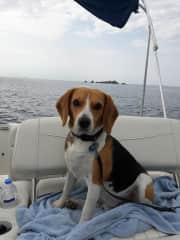 Joe the beagle