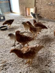 Here's the ladies! Our little flock of feathered friends that give us yummy eggs!