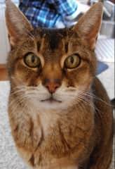 First cat Abyssinian 'Duke'