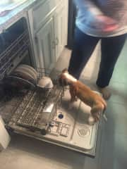 Foster pup Coby trying to help me with the dishes!