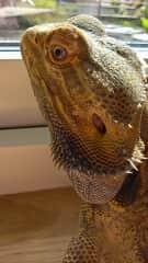Spike, bearded dragon lizzard