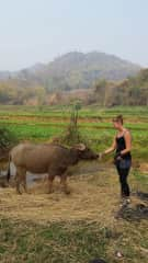 What a thrill it was to help out at a local farm in Hsipaw for a week, during a homestay in Burma. The farmer's water buffalo and I were equally curious about each other. I enjoyed getting to help feed and take care of her every day.