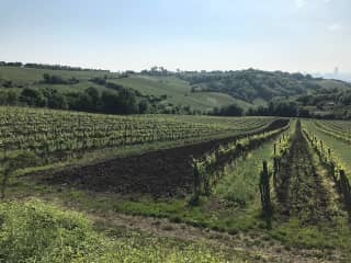 Vineyards in the area