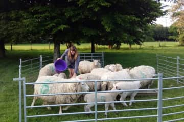 Vanessa feeding (and counting) the sheep at a sit in the UK