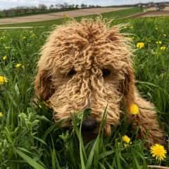 The cuddliest golden doodle, Evie!
