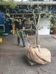 Transplanting apple trees