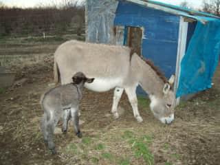 Our first newborn miniature donkey.