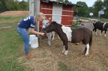 Austen feeding her mini horses & donkeys.