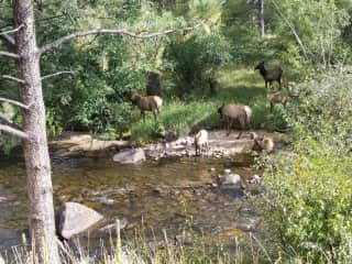 Elk in the Big Thompson