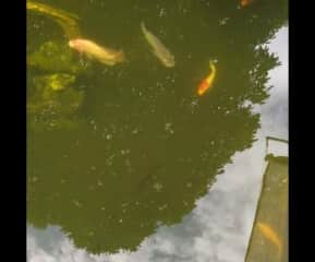 Gary lives alone in a separate section of the same pond. In the main pond there are giant mekong catfish, giant Gourami, red bellied pacu, walking catfish, tilapia, koi, and several other native species of carp and barbs. But they all eat the same pellet