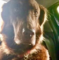 Beautiful Bertie in Pauleen's car off to the woods ( Taunton housesit )