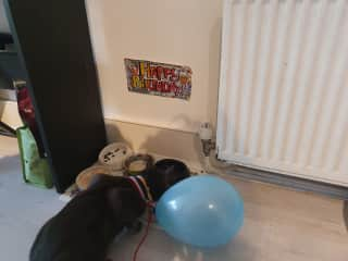 Coco on his first birthday on the 5th of August..we kept the sign for both cats..another friends cat came for the party🥰