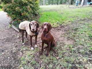 Ollie and young Zac ... short haired german pointers.