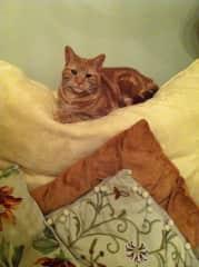 Elegant tabby cat