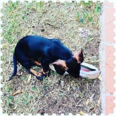 Baby dachshund Nina discovering my new Prada shoes....