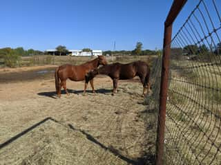 Sissy and Cricket, quarter horses mutual grooming