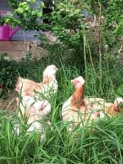 4 lovely chicks named Liberté, Frieda, Diavola und Henrietta
