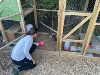 Anna feeding the chickens!