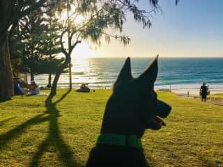 Magic Max the Kelpie pup. Mosman Park, Western Australia. 2019