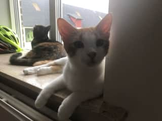 Gingo (also known as Lotto) is a cute, big bundle! He is so sweet in all ways, and seems to be following Grutty is being very shy. He loves to play and I have never known him to hiss or get angry he has a lovely personality
