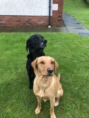 The two Labradors