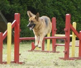 Sandy enjoying her agility class