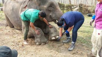 Trimming elephant feet with Carol Buckley, founder of TES, ERNA, and Elephant Aid International.