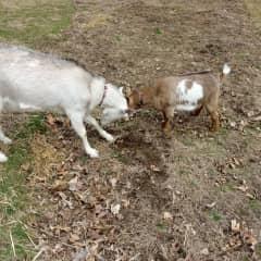 Latma and Petunia