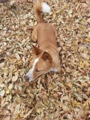 My dog, Ginger enjoying the fall leaves.