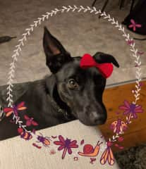 Luna - beautiful Kelpie/Labrador that we currently look after in a housesit in Melbourne