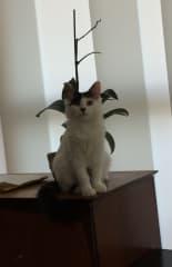 Dandy as a kitten