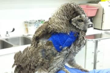 Michele, owl rehabilitation
