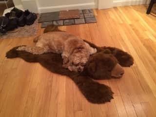 Mackie-D on her bear rug