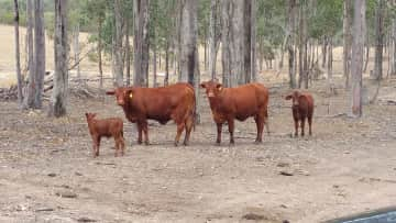 These cattle were on a Lychee property in Queensland.