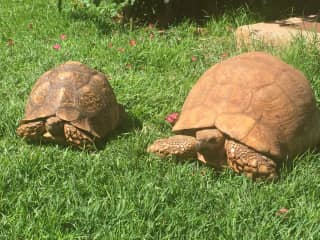 Our two leopard tortoises in Kenya