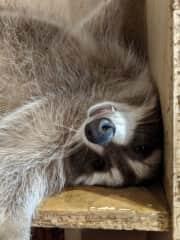 My cousins pet raccoon, Hanky!