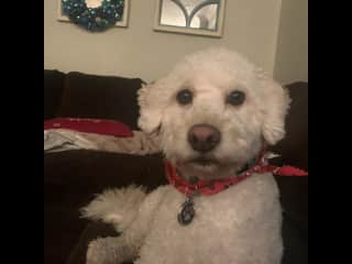 Our 3 year old mini poodle maxx