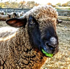 A happy sheep with a snack :-)