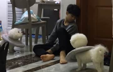We took care of 2 lovely bichons when we were living in China in 2018.