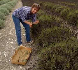 Picking lavender in Sequim, Washington.