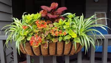 Judith's window boxes 2016. She is a passionate gardener.