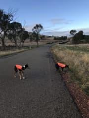 Hi visibility hounds!