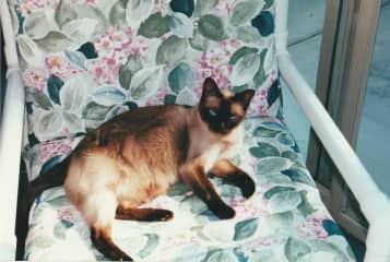 Tiny our Tonkinese kitty