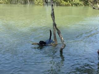 Jak retrieving a stick, the bigger the better