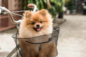 Photographing pets is fun! I miss little Pablo - from the sit in Bangkok. We taught him how to ride in the bike basket and he was all smiles <3